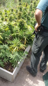 plantacion marihuana2