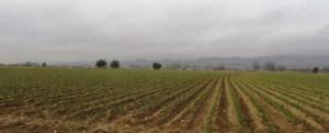 Cultivos de ajos en Morata